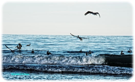Pelican Flock copy