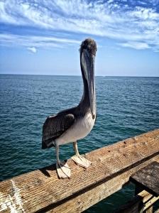 Pier Pelican